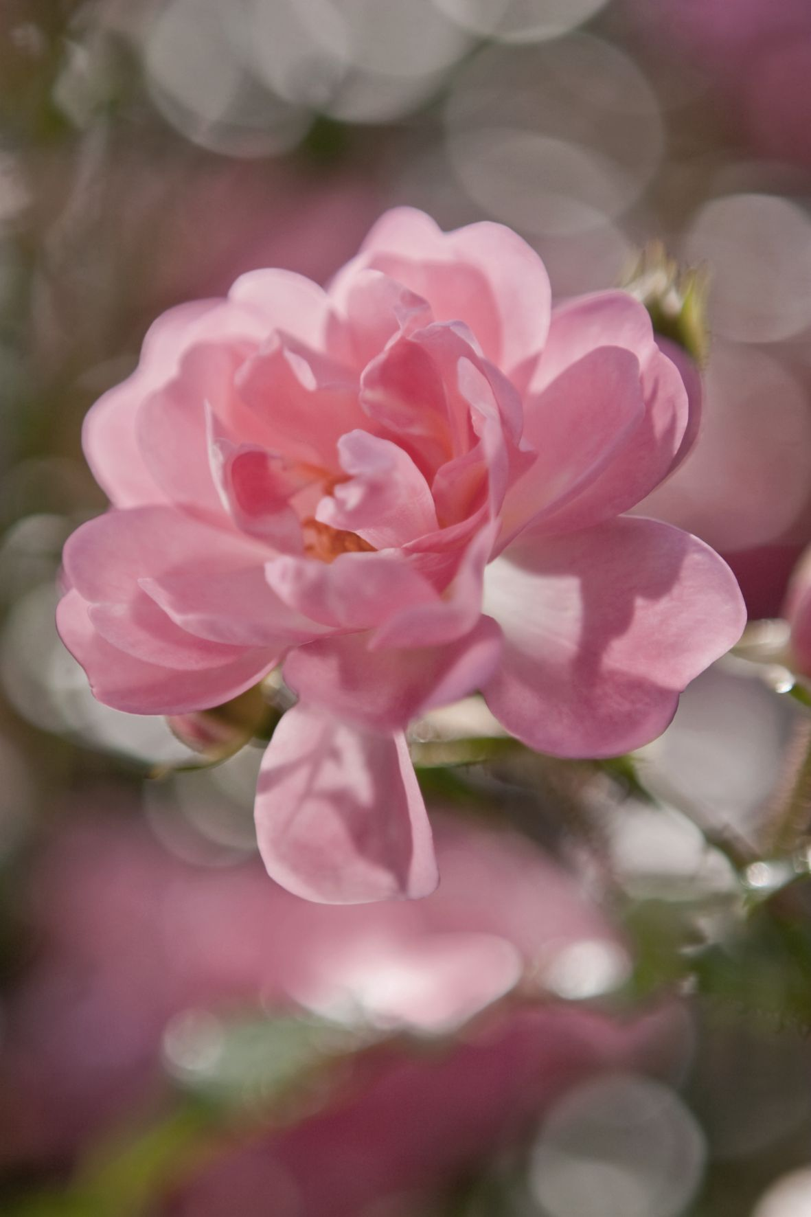 Idei de cadouri de 8 Martie pentru casa, un fototapet floral cu trandafir roz delicat.